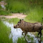 Warthog we spotted during our safari