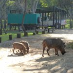 friendly and hungry warthogs