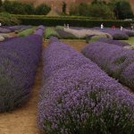 different species of lavender