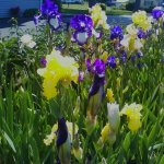 Mike's Bearded Iris garden.