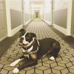 Beau Handsome enjoying his stay in Savannah! Thanks Brice Hotel.
