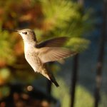 There must be over 20 various hummingbirds coming and going to the feeders throughout the day.