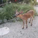 Key deer are a common sight