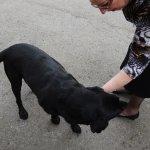 Resident Black Labrador.