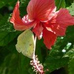 Orange-Barred Sulphur on Hibiscus