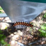 Gulf Fritillary caterpillar that just molted