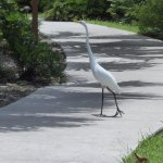 Great Egret near the parking lot