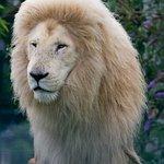 Casper teh lion