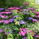 One of the vibrant hydrangea borders