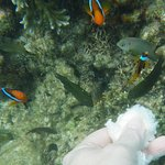 Hand feeding clown fish while snorkelling on the reef at Pele Island.