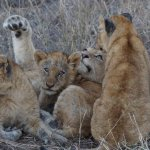 Pride of lions with their cubs