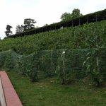 Czech's oldest vines in Prague Castle District
