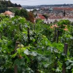 Czech's oldest Vines in Prague Castle District