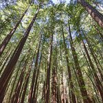 Redwood trees!  They are amazing.