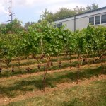 grape vines @ the vineyard