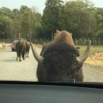Bison rubbing against our car