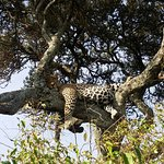 Leopard just after a great feast