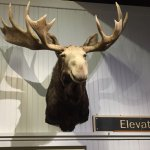 Moose head near elevator