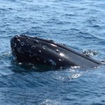 The snout of a humpback whale, surfacing about 20 feet from Capt Wayne's boat on our excursion.