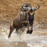 Wildebeest in the river