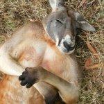 Siesta at Cleland Wildlife Park, Adelaide Australia
