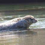 Harbor seal sunning 20 miles up river