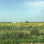 Romanian Sunflowers