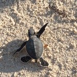 Green turtle just born running to the ocean