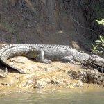 Croc sunning himself on the Daintree river bank