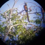 close look at the macaws