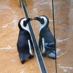this penguin was seeing double!!!
