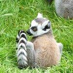 baby ring tailed lemur