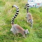 in the lemur walk through