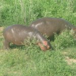 Great end to the day, watching Hippo having a lunch mid afternoon