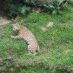 Un jaguar, animal representativo del país.