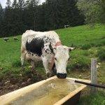 Vache de race Vosgienne aux abords de l'auberge