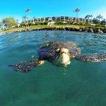 Honu (turtles) in Honokeana Bay, just steps from your door!