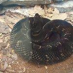 Live Rattle Snake