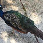 Peacock on the walkway
