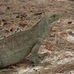 Iguana on Iguana Island
