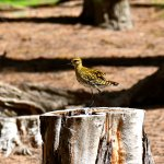 A Golden Plover in breeding plumage near our cabin