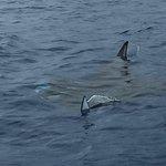 15ft manta ray