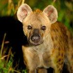 Hyena, Western Shores, iSimangaliso Wetland Park