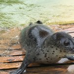 Seals at the Cornish Seal Sanctuary.