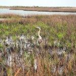 Heron no the marsh side of Galveston state park.