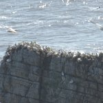 ledge packed with gannets