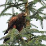 Phoenix Falconry resmi