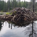 One of the many local beaver dams on the lake.
