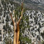 Photo of Ancient Bristlecone Pine Forest