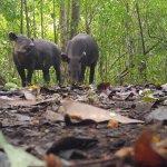 Tapirs - 3 meters away!